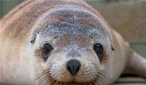 SouthernOceanLodge-KangarooIslandSeal