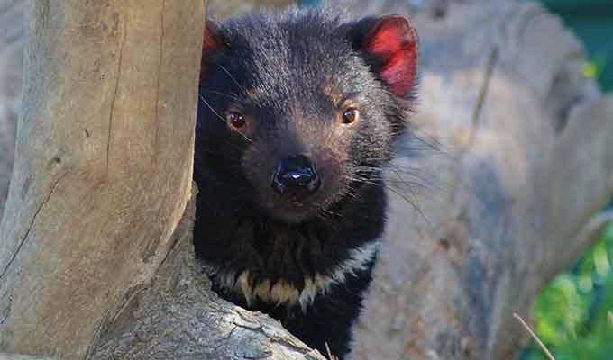 Tasmanian Devil Experience