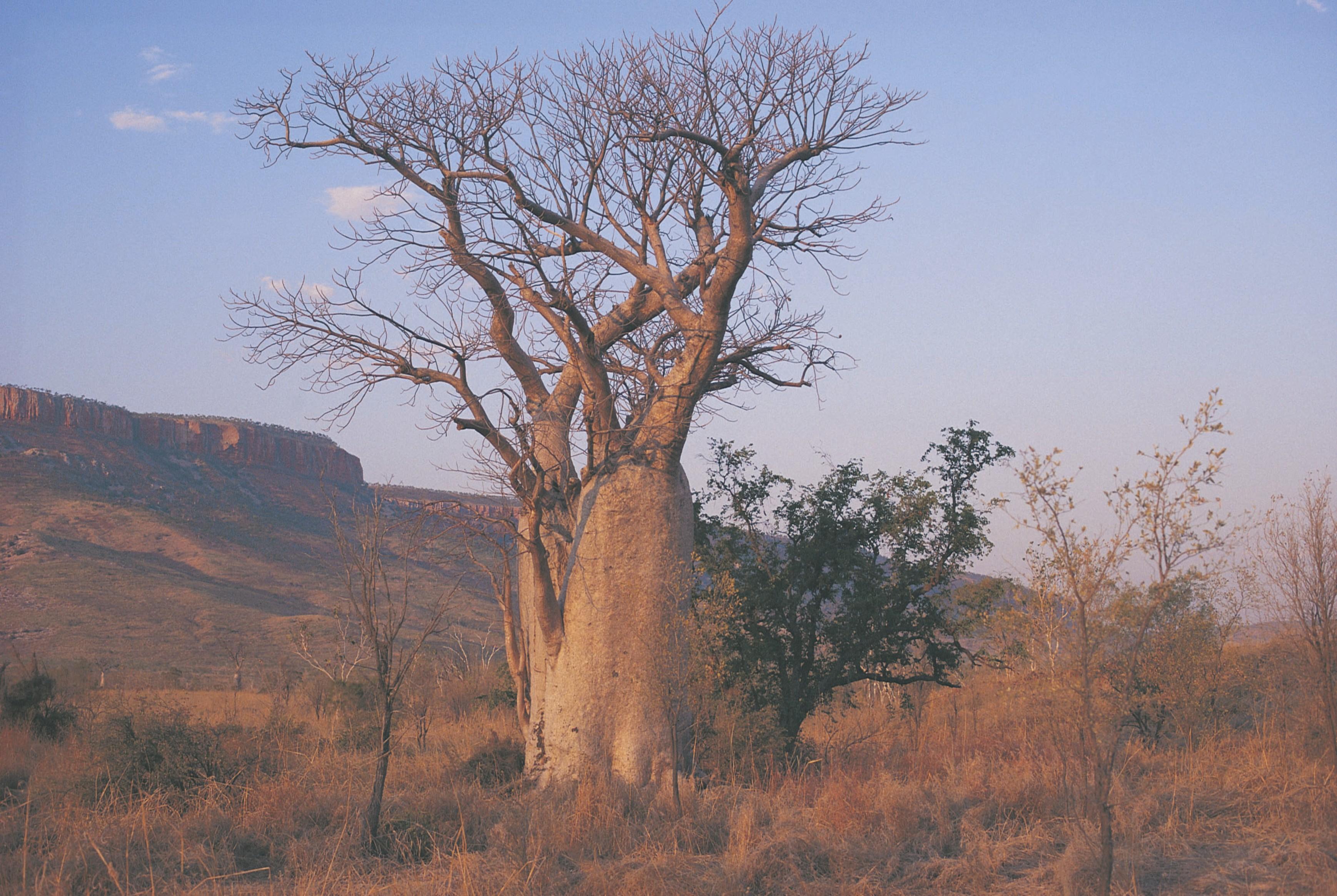 El-Questro-Homestead_Boab tree & Cockburn Range - Click to view larger version