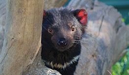 Tasmanian Devils at Saffire