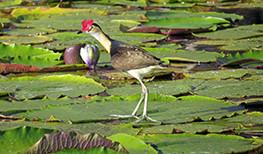 Crystalbrook Lodge Lotus Bird