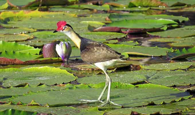 Crystalbrook-Lodge_Northern-Outback-Queensland_Lotus-Bird680x400