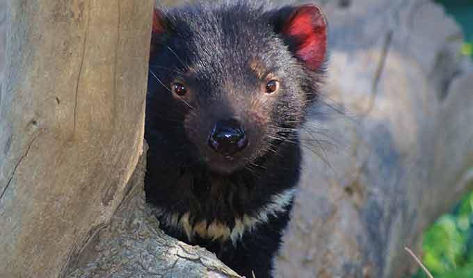 Saffire_Freycinet_Tasmanian-devil2680x400