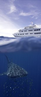 True-North_The-Kimberley_WhaleShark - Click to view larger version
