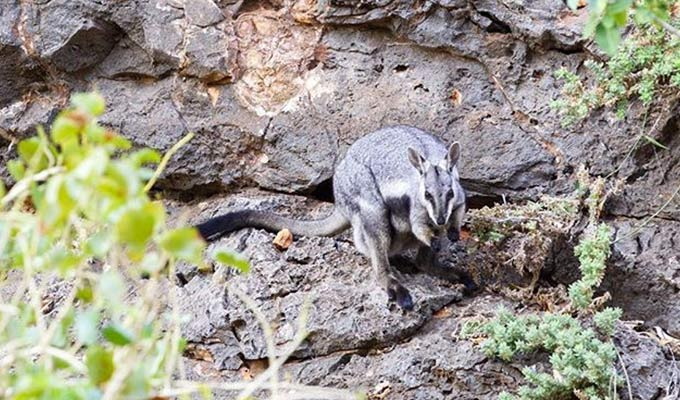 The Elusive Black-Footed Rock-Wallaby