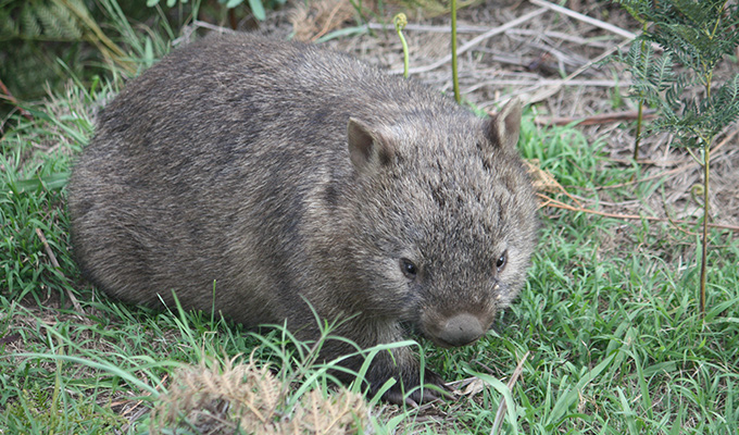 Luxury Resort Hoping To Save Australia's Wombats
