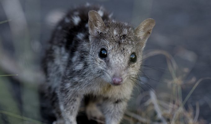 Sighting of a Northern Quoll