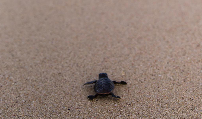 Ningaloo's Turtle Nesting Season