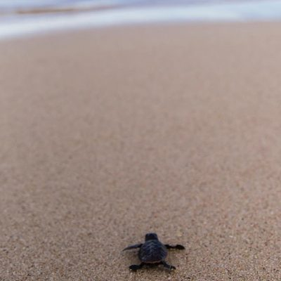 Ningaloo's Turtle Nesting Season