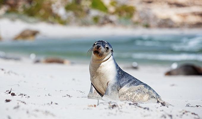 Kangaroo Island's Recovery