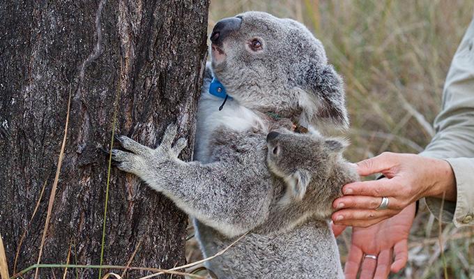 Peak To Hidden Vale Koala Safari